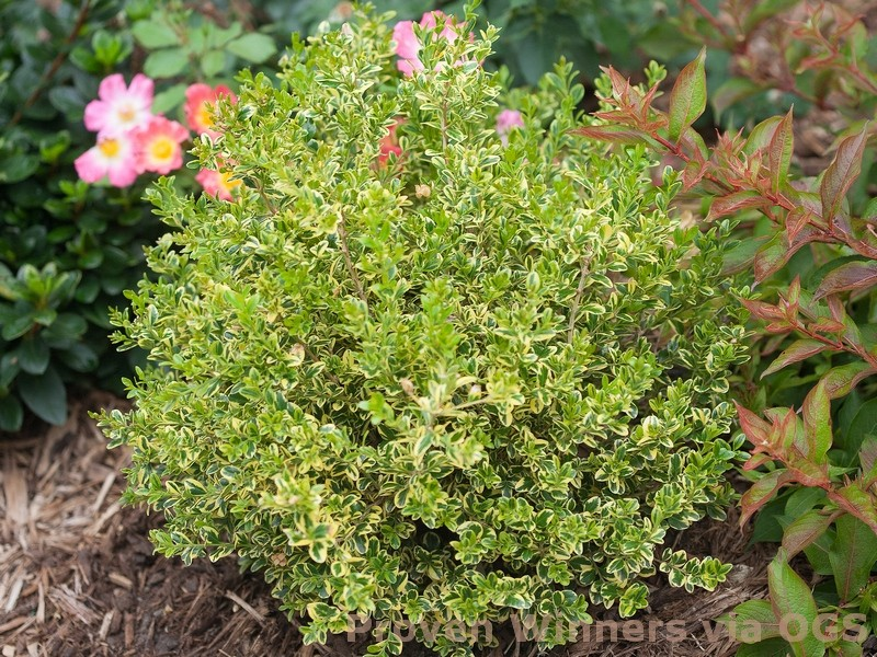 Buxus microphylla var. koreana 'Wedding Ring'