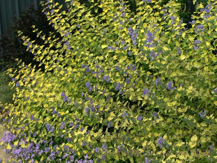 Caryopteris incana 'Sunshine Blue'