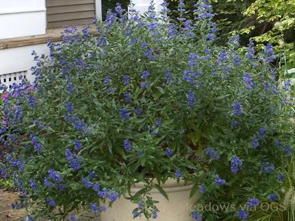 Caryopteris x clandonensis 'Petit Bleu'