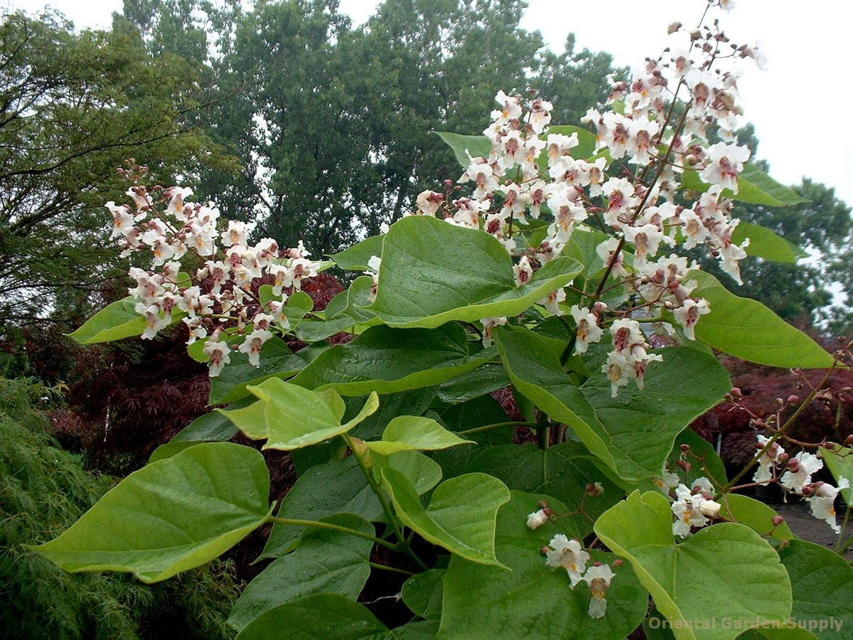 catalpa bignonioides 39 aurea 39 oriental garden supply llc. Black Bedroom Furniture Sets. Home Design Ideas