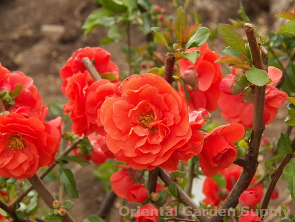 Chaenomeles speciosa 'Orange Storm'