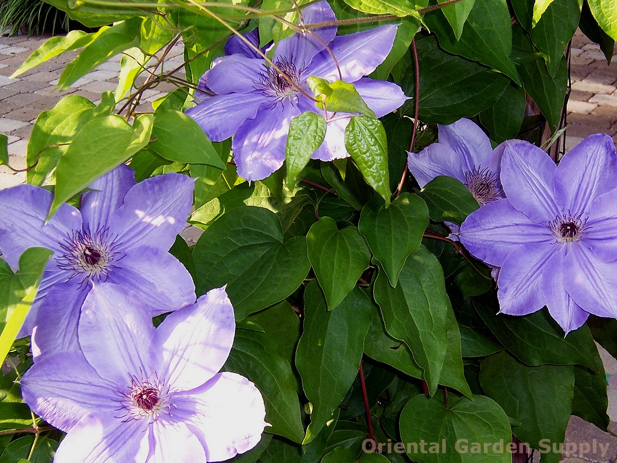 Clematis - assorted varieties