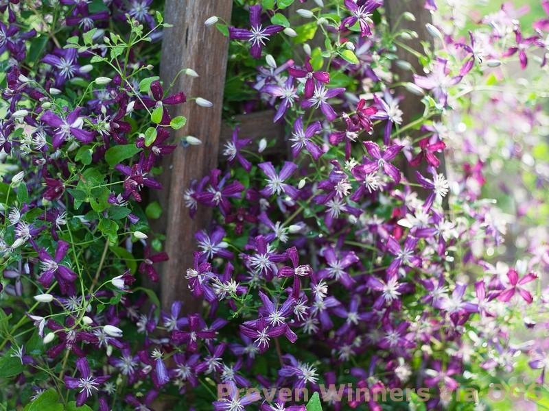 Clematis terniflora 'Sweet Summer Love'