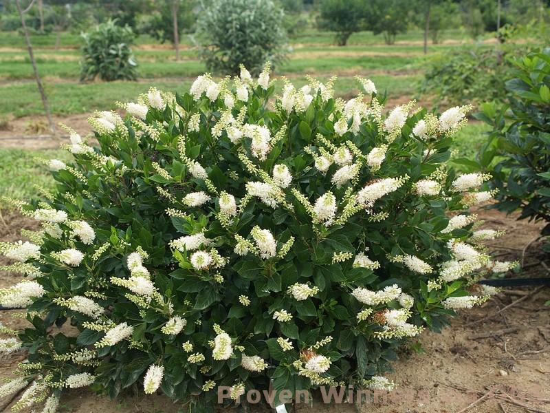 Clethra alnifolia 'Crystalina'