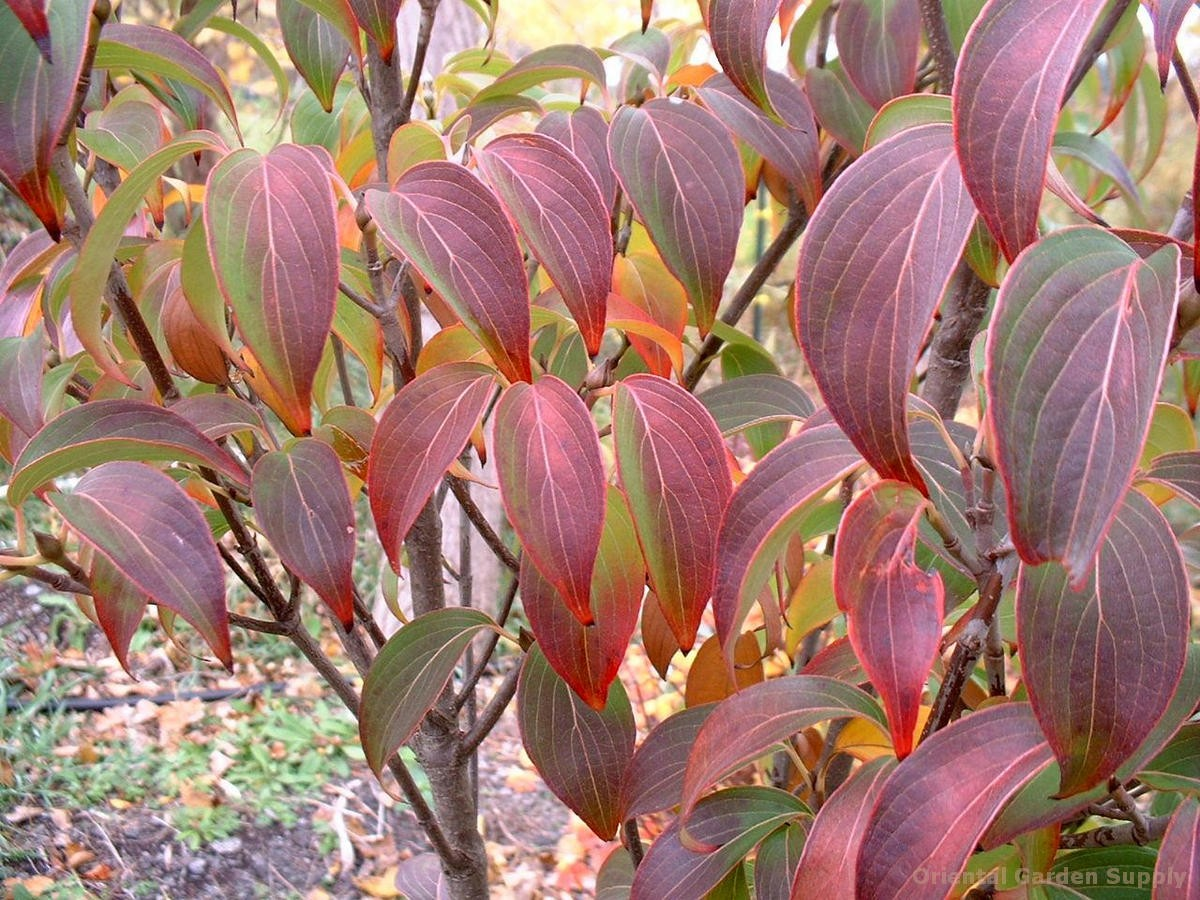 Cornus kousa chinensis 'Autumn Rose'