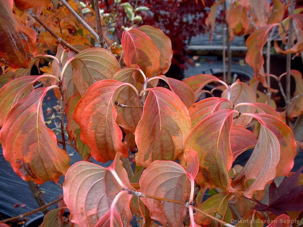 Cornus kousa chinensis 'Tri-Splendor'