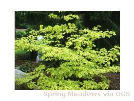 Cornus alternifolia 'Golden Shadows'