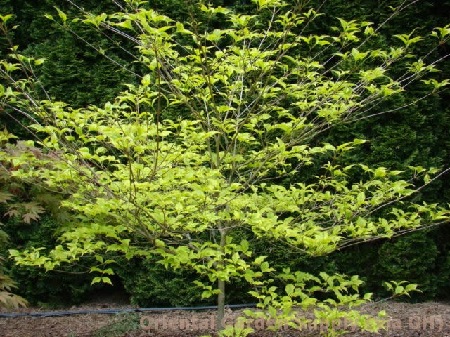 Cornus kousa chinensis 'Lemon Ripple'