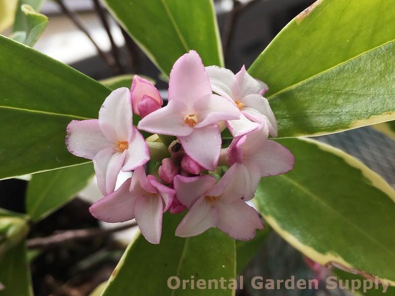 Daphne odora 'Aureo-Marginata'