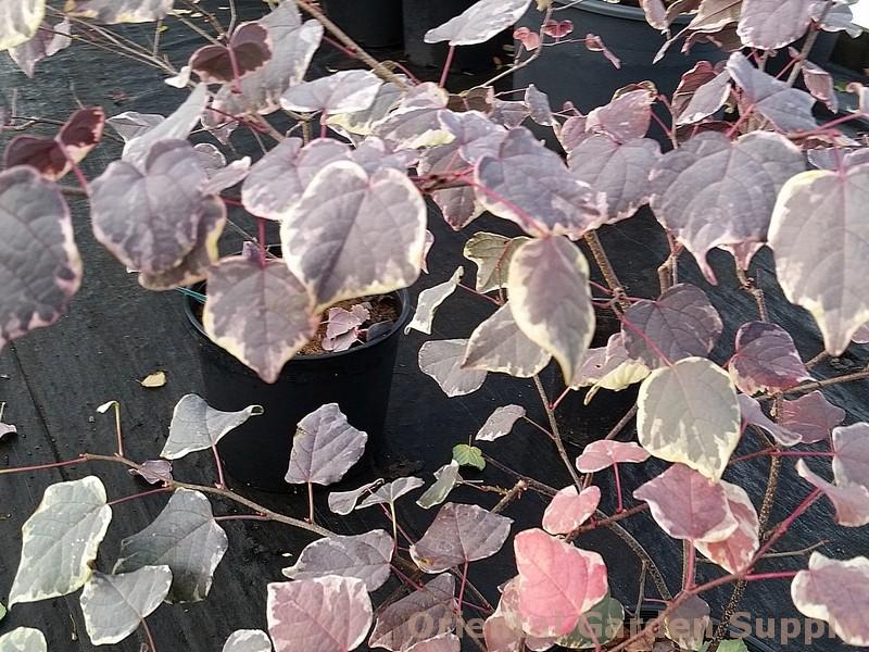 Disanthus cercidifolius 'Ena nishiki'