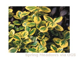 Euonymus fortunei 'Gold Splash'