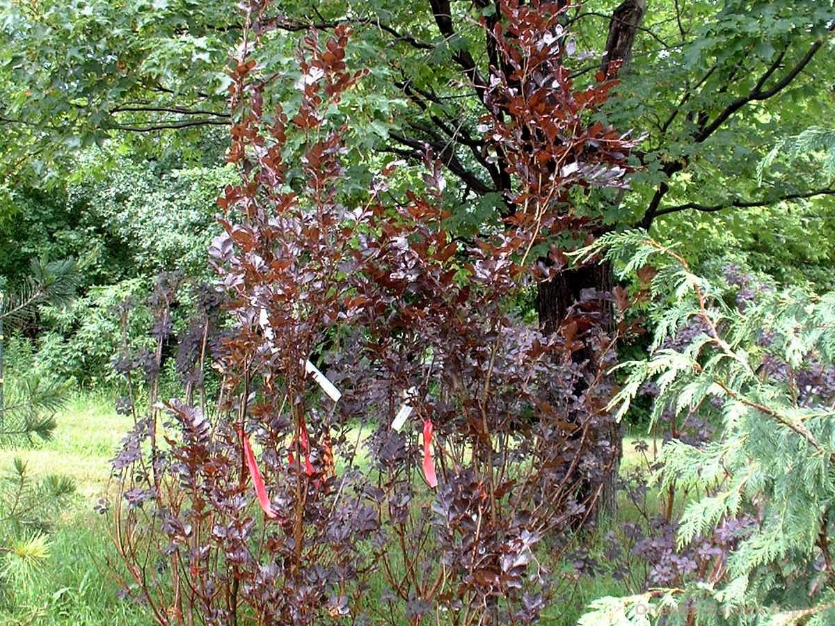 Fagus sylvatica 'Dawyck Purple'