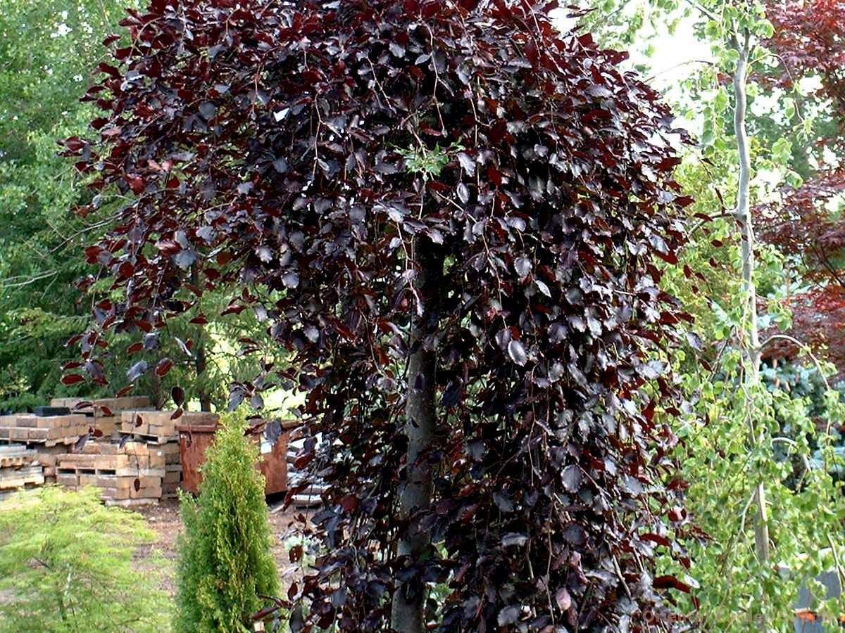 fagus sylvatica 39 purpurea pendula 39 oriental garden. Black Bedroom Furniture Sets. Home Design Ideas