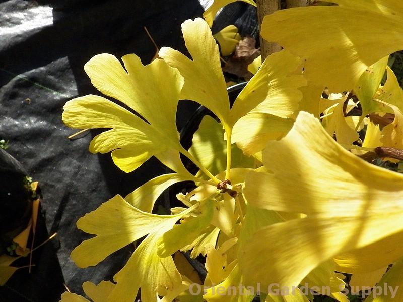 Ginkgo biloba 'Sunstream'
