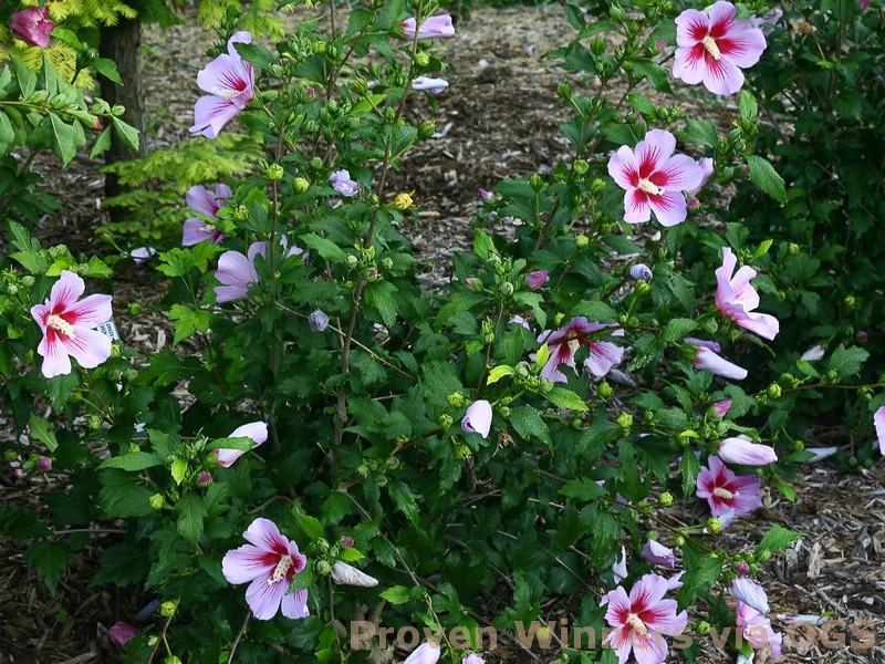 Hibiscus syriacus 'Orchid Satin'