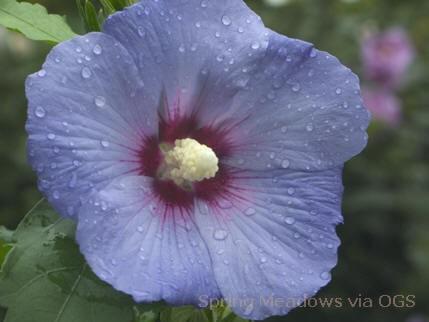 Hibiscus syriacus 'Blue Satin'
