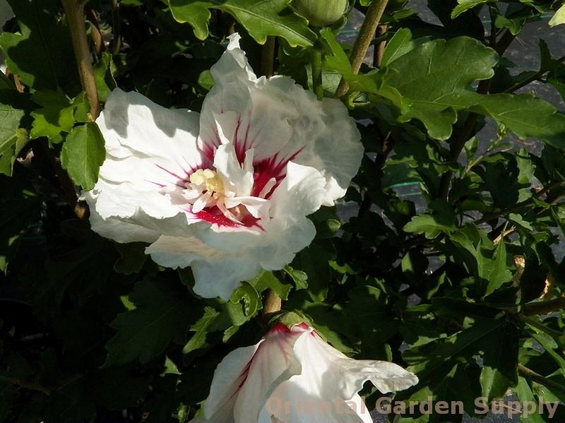 Hibiscus syriacus 'Bali'