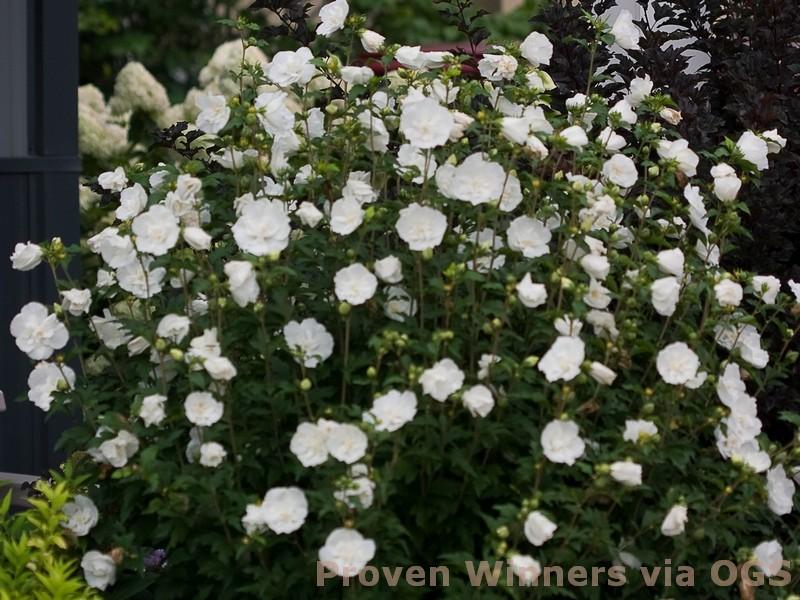 Hibiscus syriacus 'White Chiffon'