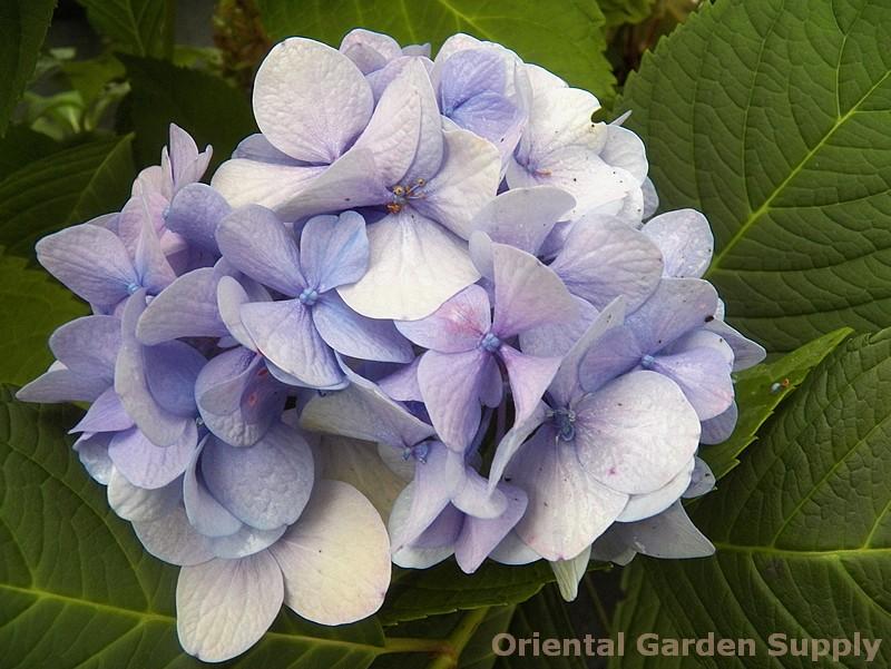 Hydrangea macrophylla 'All Summer Beauty'