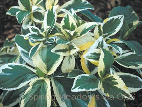 Hydrangea macrophylla 'Lemon Wave'