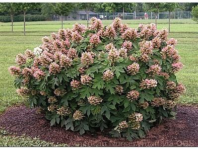 Hydrangea quercifolia 'Munchkin'