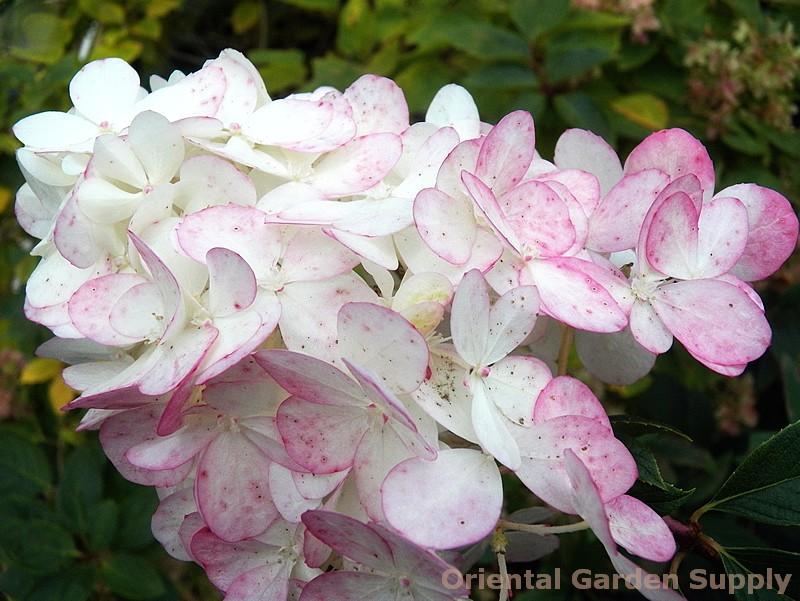 Hydrangea paniculata 'Vanilla Strawberry'