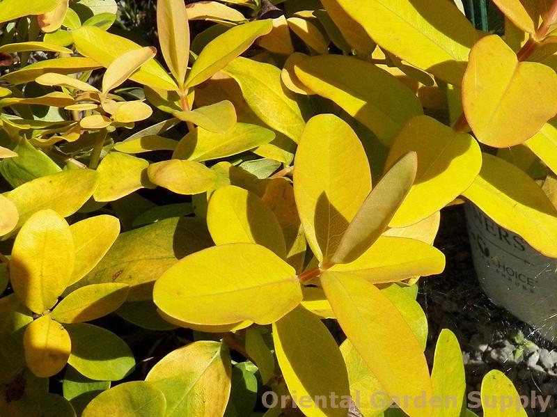 Hypericum calycinum 'Golden Rule'