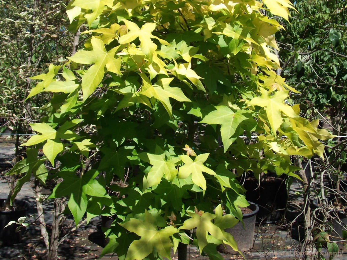 Liquidambar styraciflua 'Naree Light'