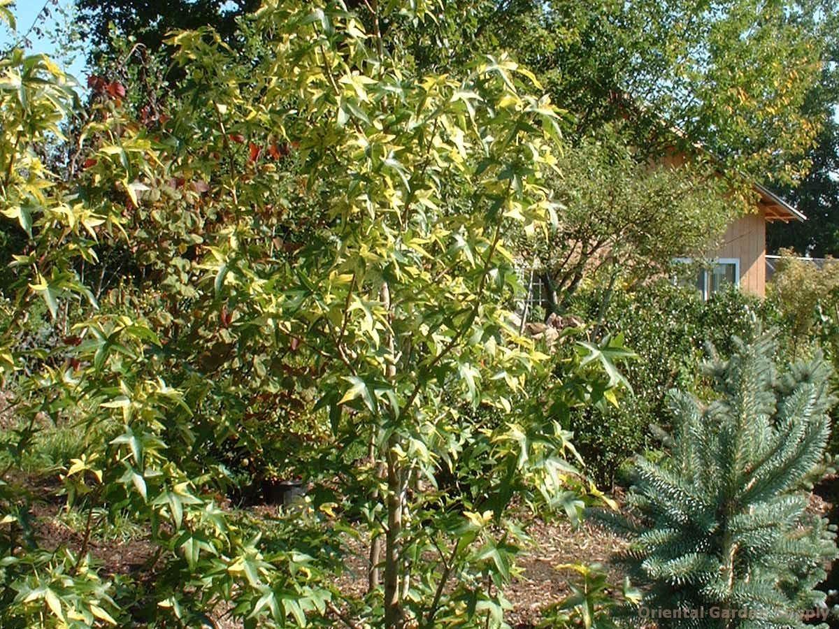 Liriodendron tulipifera 'Aureo-marginatum'
