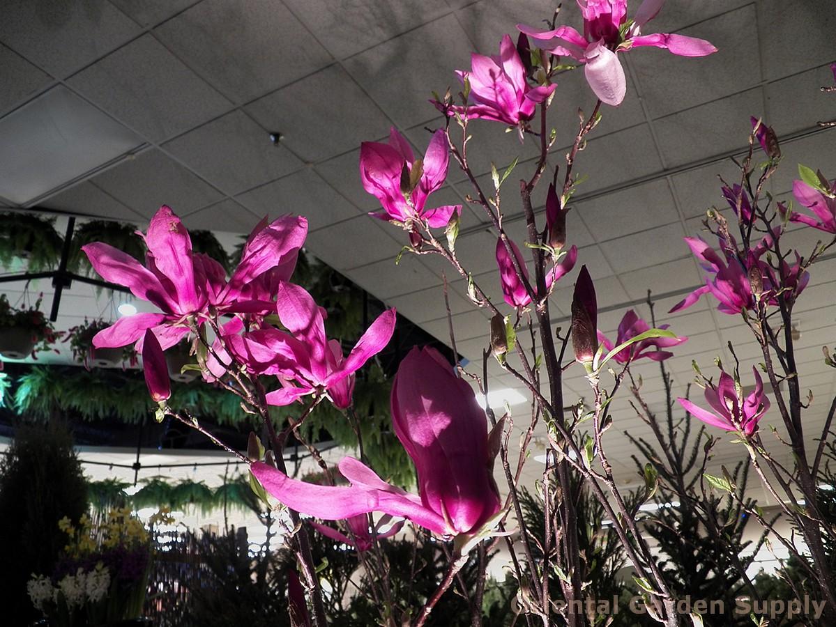 Magnolia liliiflora x stellata 'Betty'