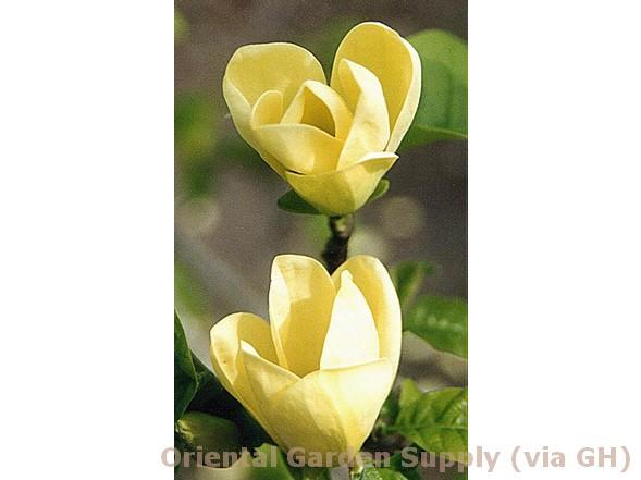 Magnolia acuminata 'Yellow Bird'