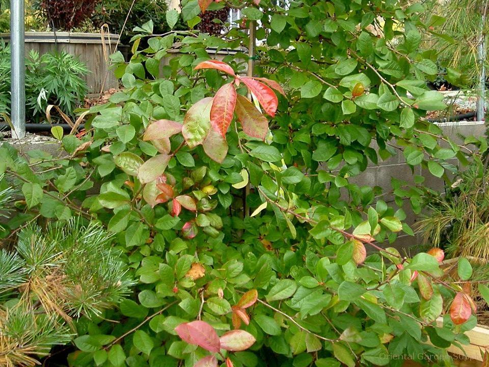 Nyssa sylvatica 'Autumn Cascade'