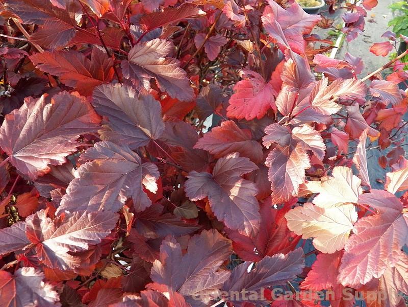 Physocarpus opulifolius 'Coppertina'