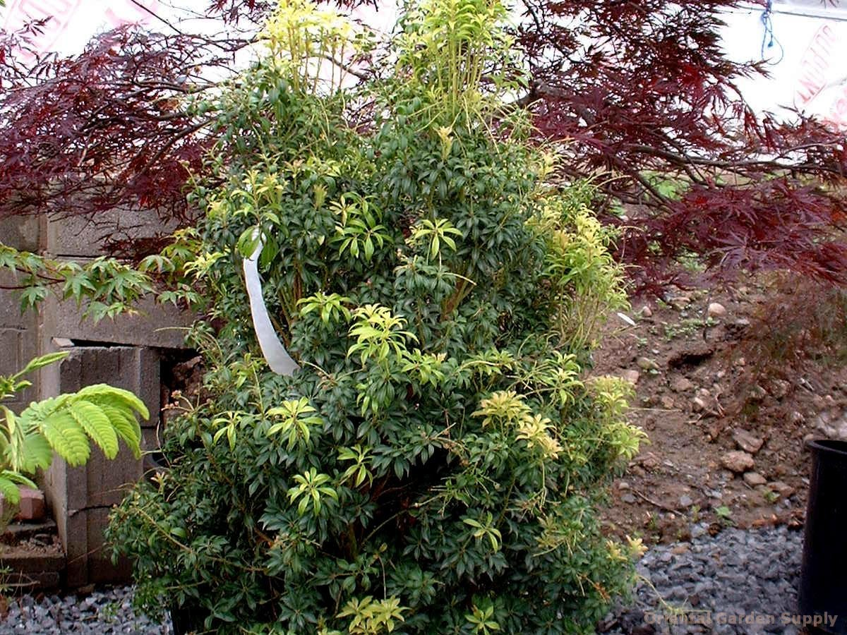 Pieris japonica 'Bonsai'