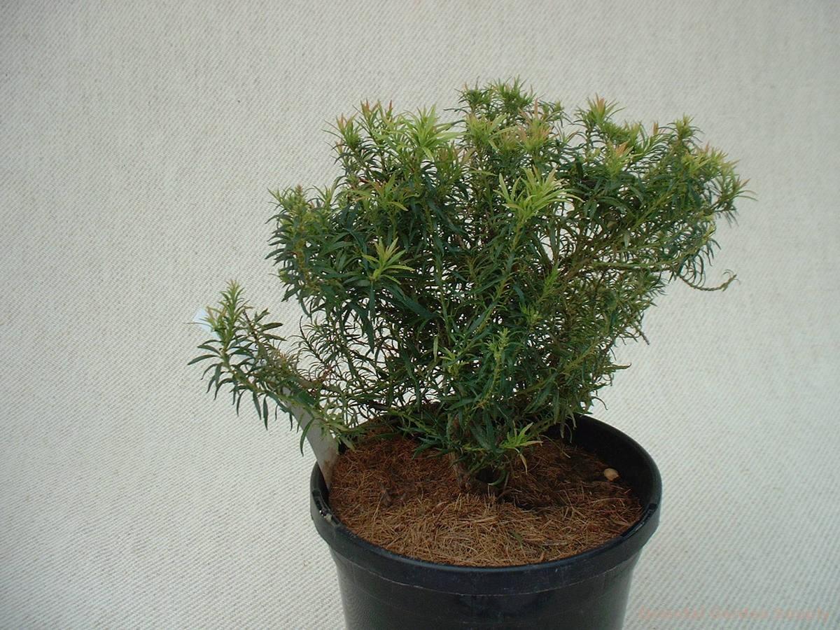 Pieris japonica 'Shojo'