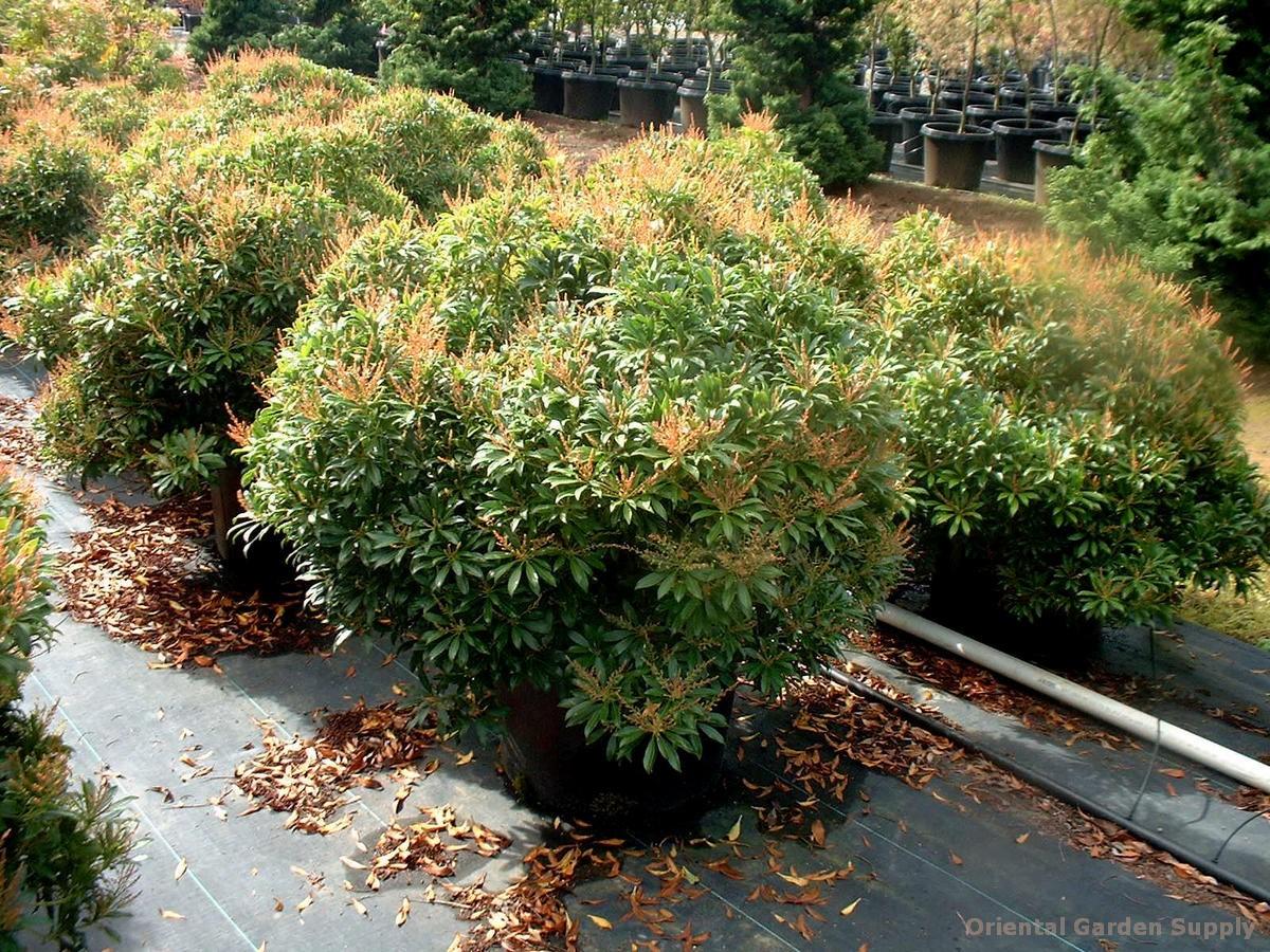 Pieris japonica 'Yakushimanum'