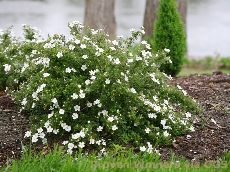 Potentilla fruticosa 'Happy Face White'