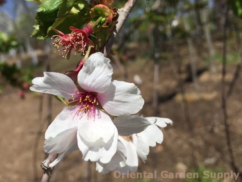 Prunus x 'Snow Fountains'