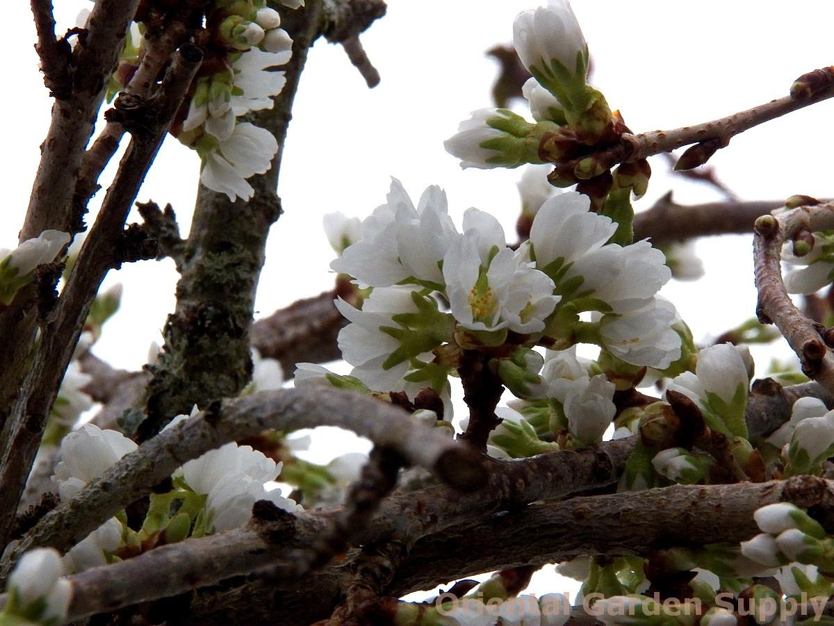 Prunus subhirtella var. pendula 'Snofozam'