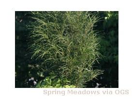Rhamnus frangula 'Asplenifolia Fine Line'
