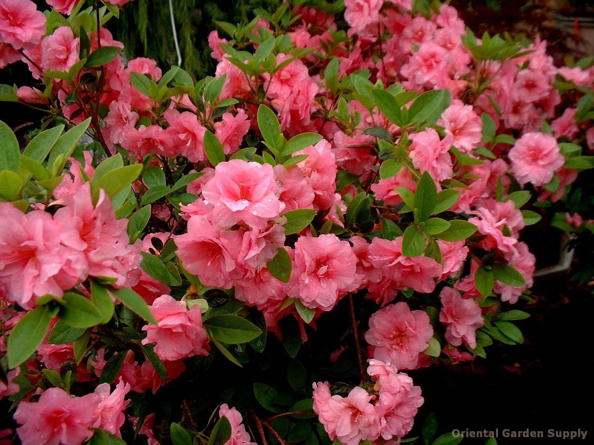 Rhododendron 'Gable Hybrid Rosebud'