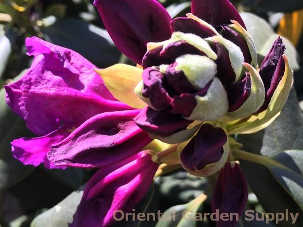 Rhododendron catawbiense 'Lee's Dark Purple'