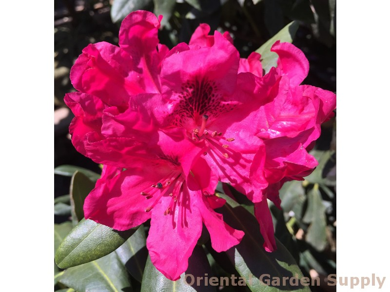 Rhododendron catawbiense 'The General'