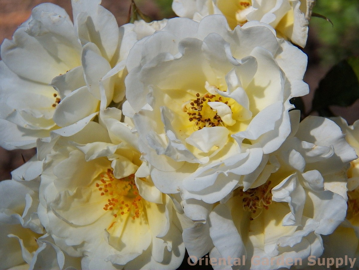 Rosa 'Popcorn Drift'