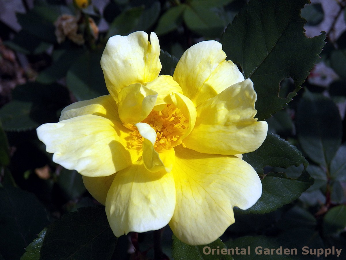 Rosa 'Sunny Knock Out'