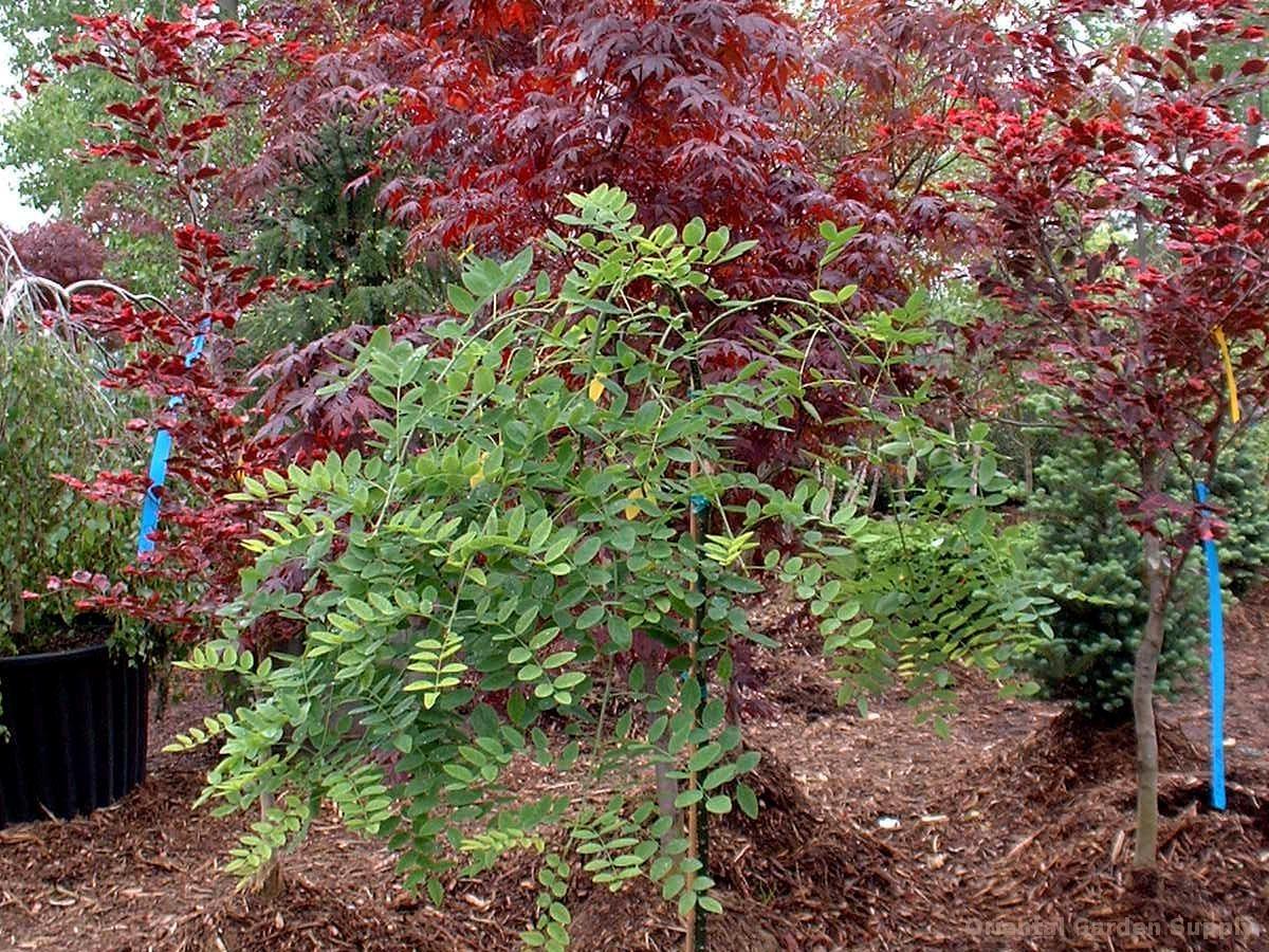 Sophora japonica 'Pendula'