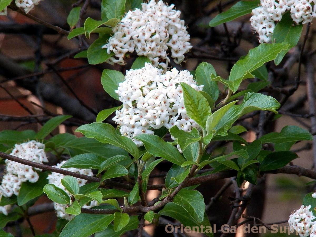 Viburnum x burkwoodii