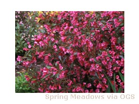 Weigela florida 'Wine & Roses'