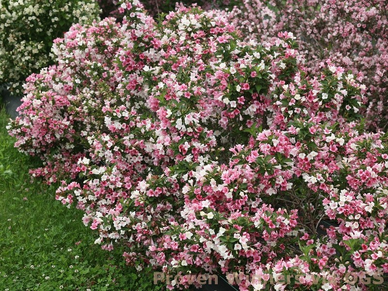 Weigela florida 'Czechmark Trilogy'