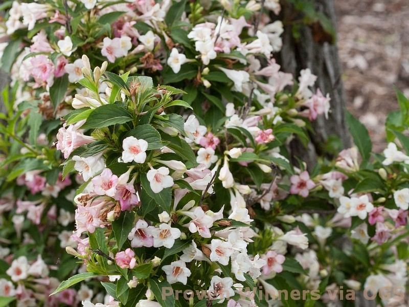 Weigela florida 'Sonic Bloom Pearl'